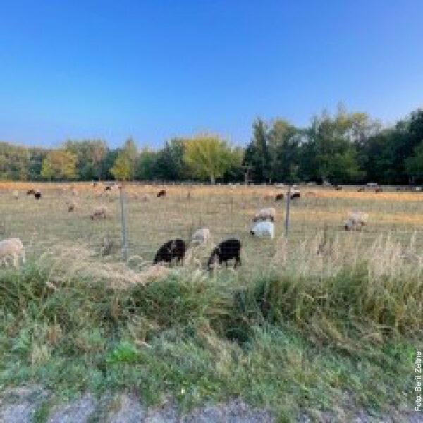Schafherde auf Feld